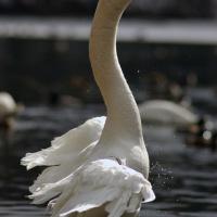 отличный лебедь!:)